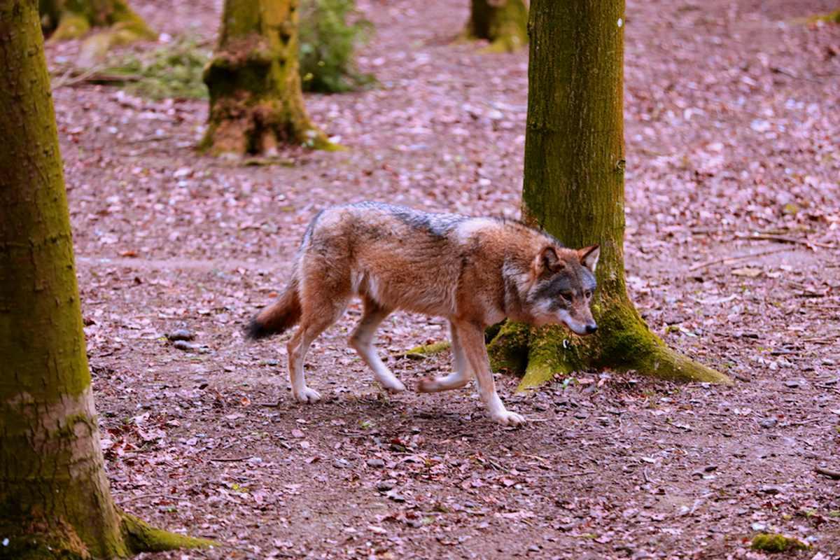 Il Viminale precisa: nessun abbattimento di lupi è stato autorizzato
