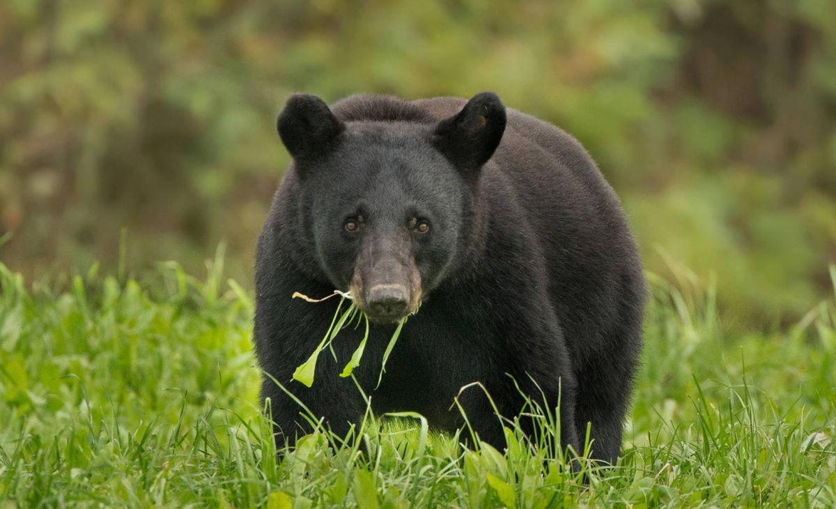 Sospesa l'ordinanza di abbattimento dell'orsa Gaia