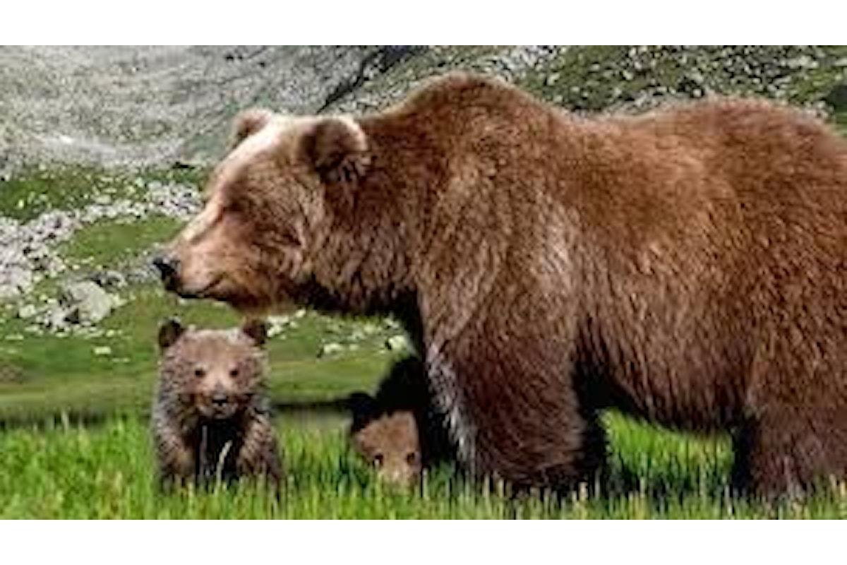 Ritorna in libertà l'orsa JJ4