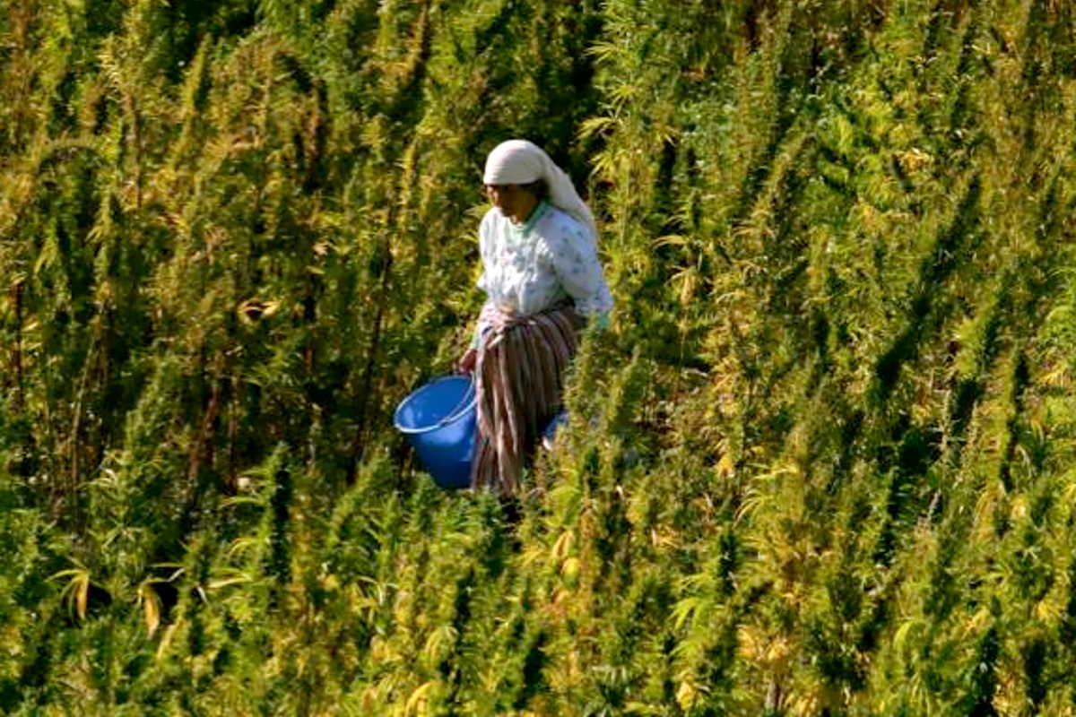 Una legge rivoluzionaria prevede in Marocco la coltivazione e la diffusione di cannabis a scopo medico