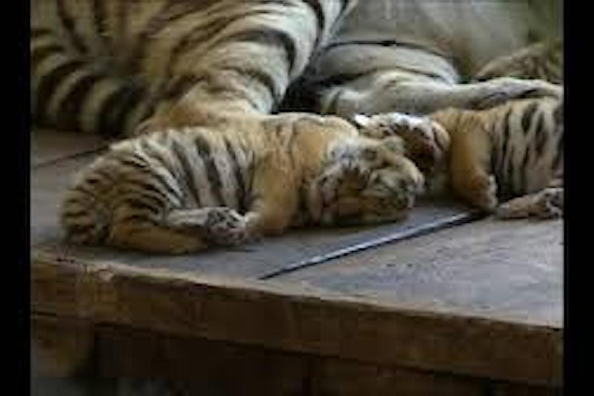 Un video documenta i primi passi di due cuccioli di tigre siberiana