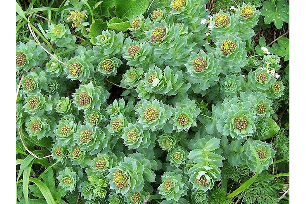 La Rhodiola Rosea: dalla Siberia, una pianta dalle molte proprietà