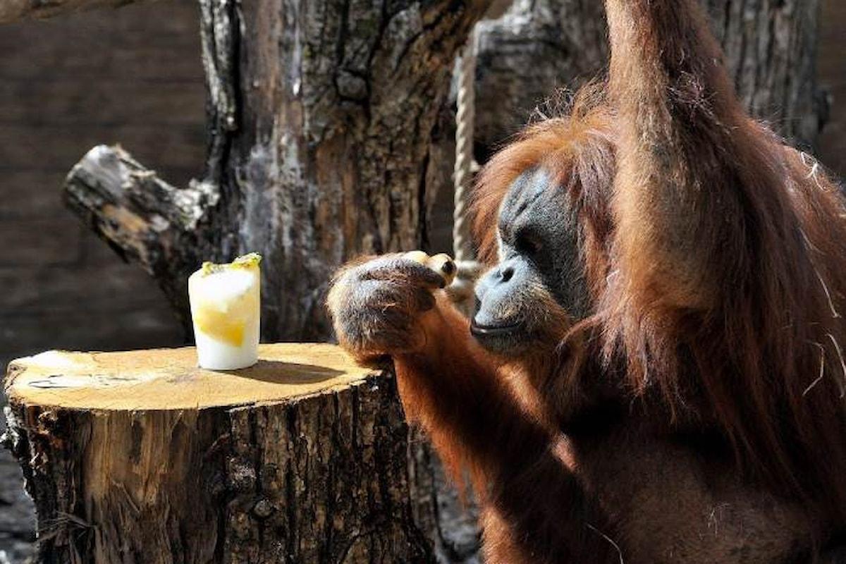 Al Bioparco di Roma fine settimana dedicato agli oranghi, sabato 19 e domenica 20 Agosto